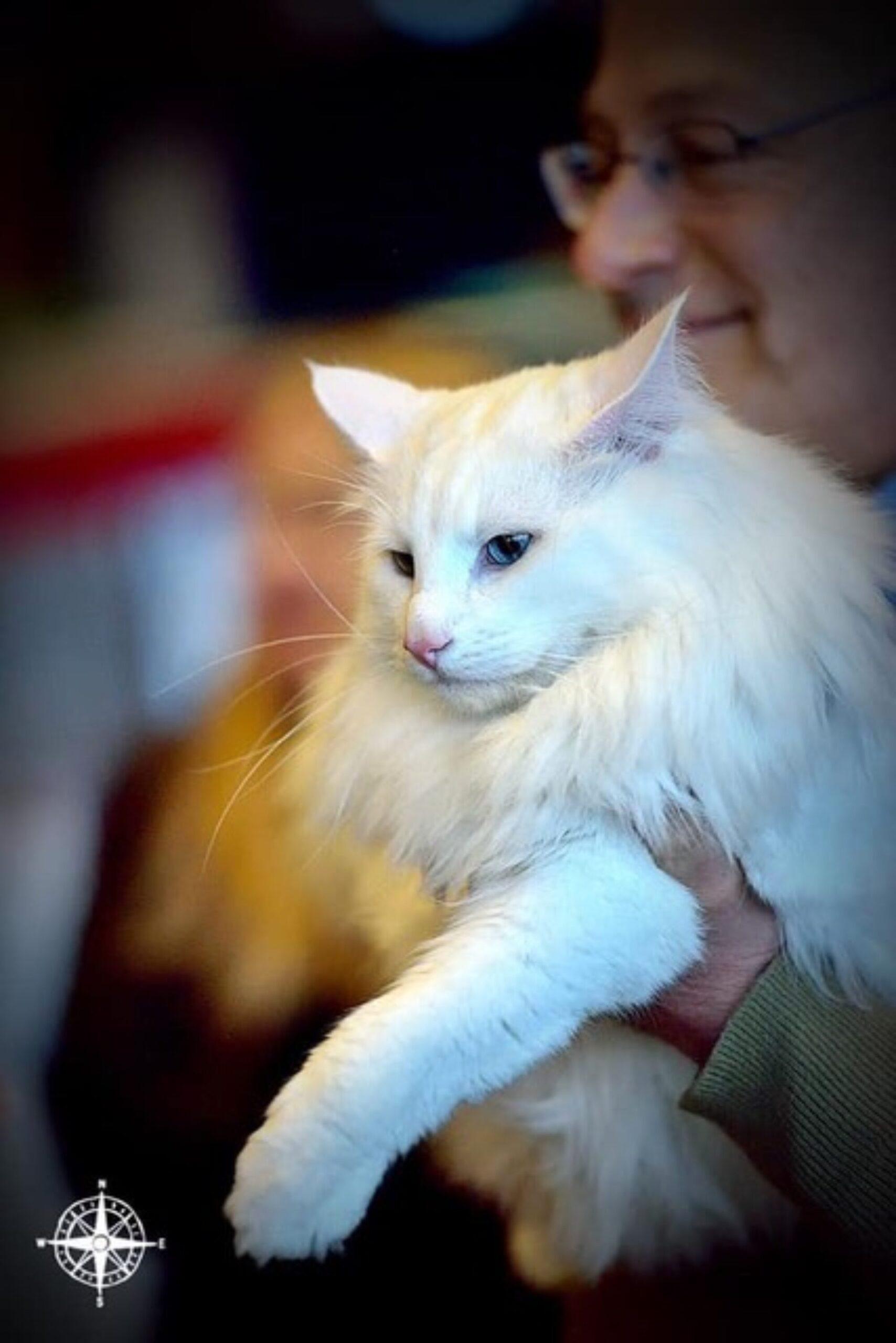 Discanto - Allevamento amatoriale gatti norvegesi delle foreste